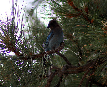 7/9/07 Stellars Jay (Cyanocitta stelleri). Shingle Mill Day Use Area, West Walker River, Toiyabe National Forest. Eastern Sierras, Mono County, CA