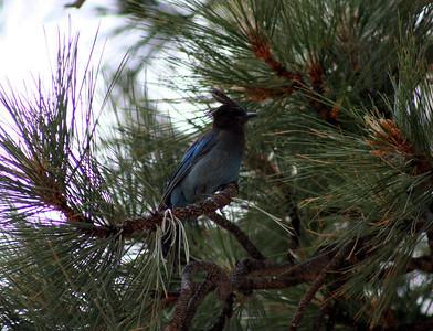 7/9/07 Steller's Jay (Cyanocitta stelleri). Shingle Mill Day Use Area, West Walker River, Toiyabe National Forest. Eastern Sierras, Mono County, CA
