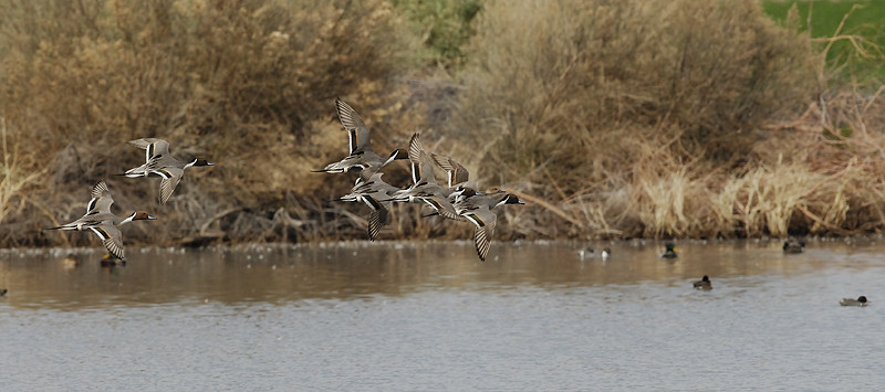 PINTAILS, BOSQUE DEL APACHE N.W.R., NEW MEXICO