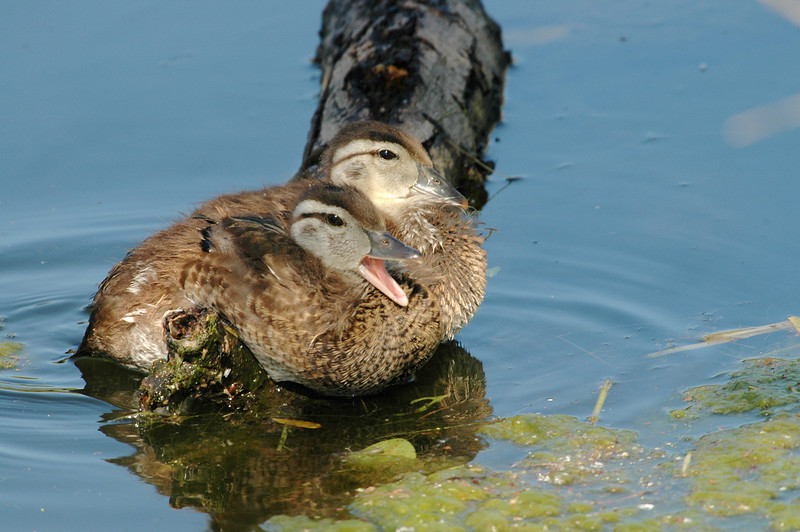 YOUNG MALLARDS, SANTEE LAKES, CALIFORNIA