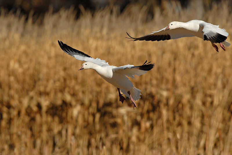 SNOW GEESE, BOSQUE DEL APACHE N.W.R., NEW MEXICO