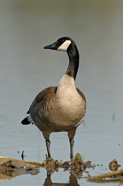 CANADA GOOSE, LINDO LAKE, CALIFORNIA