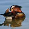 MANDARIN DUCK, LINDO LAKE, CALIFORNIA