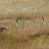 CANADA GEESE, YELLOWSTONE N.P., WYOMING