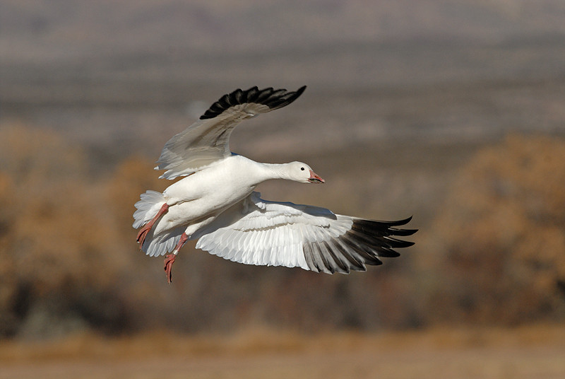 SNOW GOOSE, BOSQUE DEL APACHE N.W.R., NEW MEXICO, NOTE BAND ON LEG.