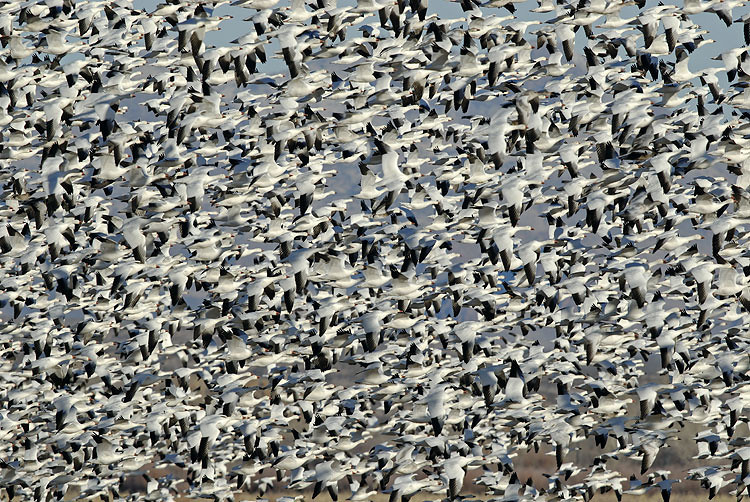 SNOW GEESE BLAST OFF, BOSQUE DEL APACHE N.W.R., NEW MEXICO