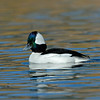 BUFFLEHEAD, SANTEE LAKES, CALIFORNIA