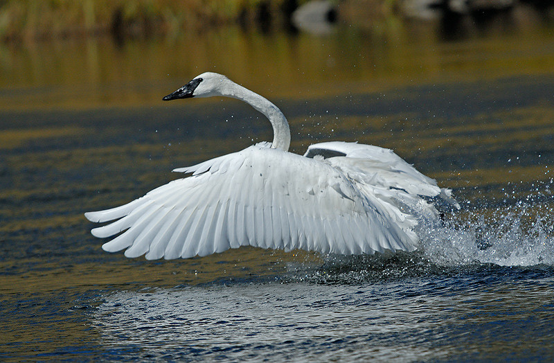 TRUMPTER SWAN, MADISON RIVER, YELLOWSTONE N.P.
