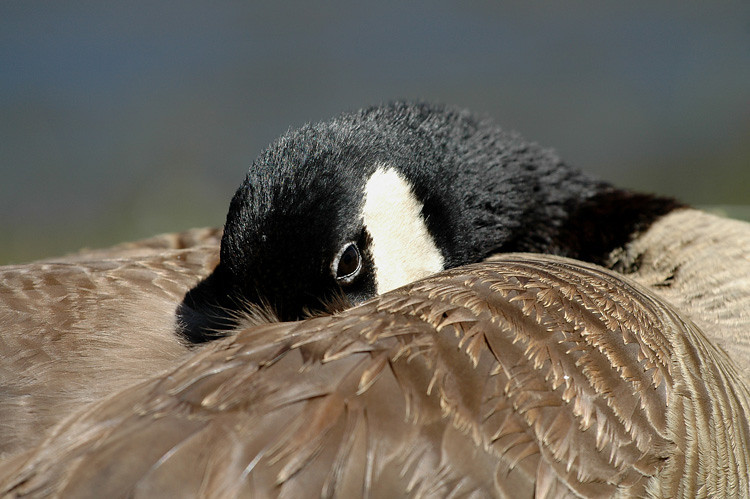 CANADA GOOSE, CUYAMACA LAKE, CALIFORNIA