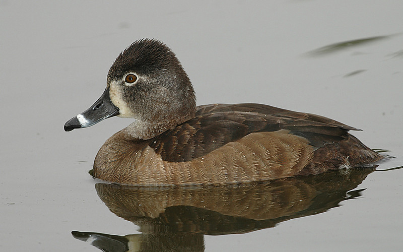 RINGNECK FEMALE, SANTEE LAKES, CALIFORNIA