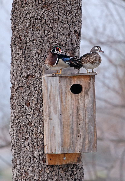 WOOD DUCKS ON NEST BOX, LINDO LAKE, CALIFORNIA