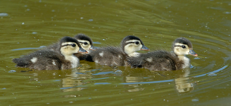WOOD DUCK CHICKS, SANTEE LAKES, CALIFORNIA