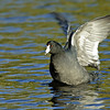 COOT, SANTEE LAKES, CALIFORNIA