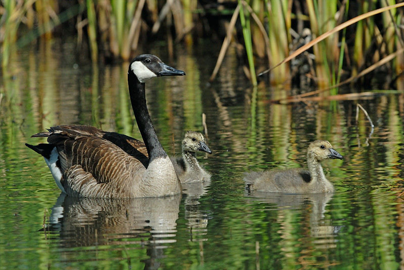 CANADA GOOSE WITH GOSLINGS, LINDO LAKE, CALIFORNIA