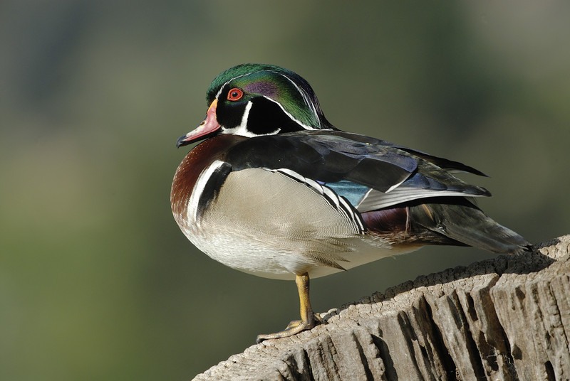 WOOD DUCK, SANTEE LAKES, CALIFORNIA