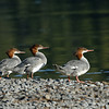 MERGANSERS, YELLOWSTONE N.P.,WYOMING