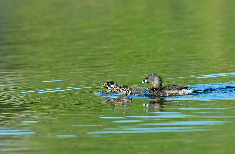 PIED-BILLED GREBE WITH YOUNG, SANTEE LAKES, CALIFORNIA