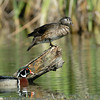 WOOD DUCKS, LINDO LAKE, CALIFORNIA
