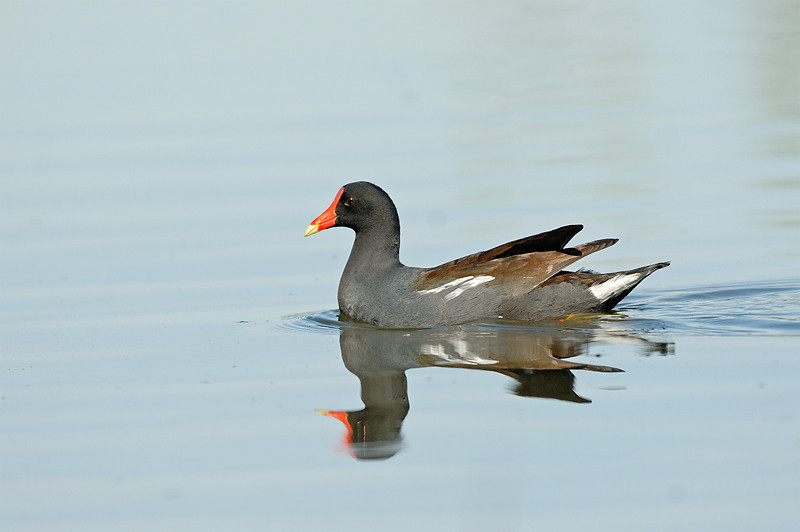 MOORHEN, LINDO LAKE, CALIFORNIA
