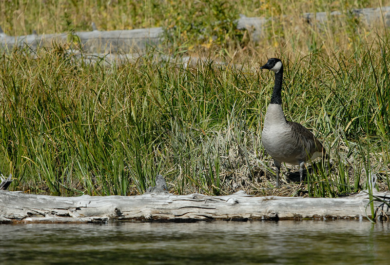 CANADA GOOSE, YELLOWSTONE N.P., WYOMING