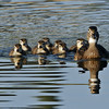 WOOD DUCK AND CHICKS, SANTEE LAKES, CALIFORNIA