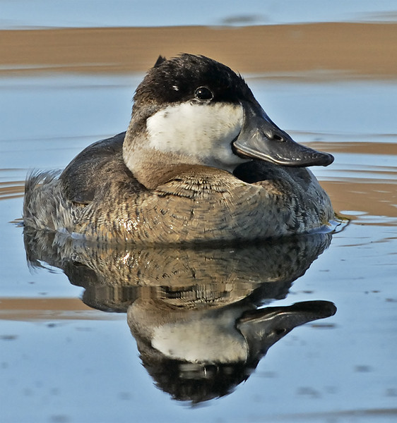 RUDDY DUCK, SANTEE LAKES, CALIFORNIA