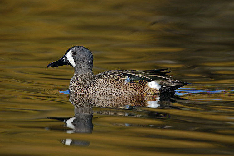 BLUE-WINGED TEAL, SANTEE LAKES, CALIFORNIA