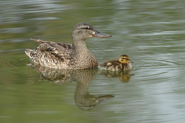 MALLARD HEN WITH YOUNG, SANTEE LAKES, CALIFORNIA