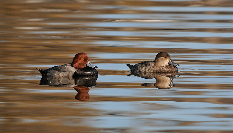 REDHEADS, LINDO LAKE, CALIFORNIA