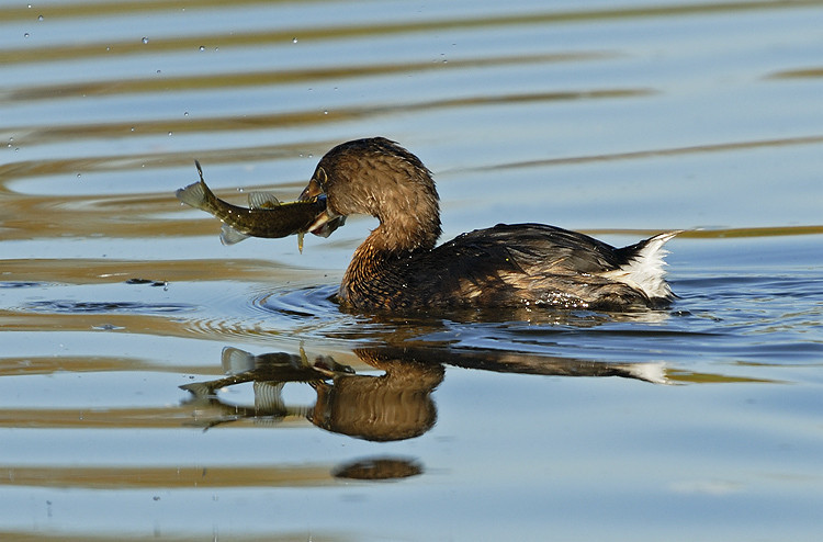 PIED-BILLED GREBE WITH SMALL BASS, SANTEE LAKES, CALIFORNIA