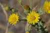 Happy tarweed brightens up the summer day.