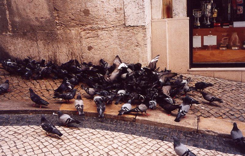 Busy pigeons, Lisbon, Portugal