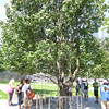 The tree that survived the WTC attack