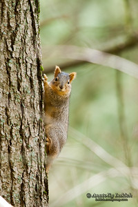 Squirrel.  Squirrels belong to a large family of small or medium-sized rodents called the Sciuridae.