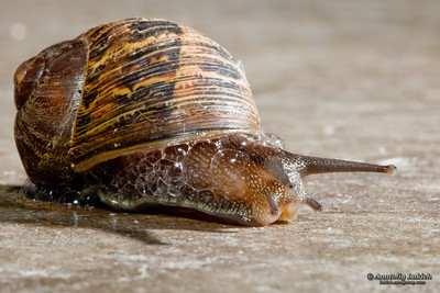 Garden Snail. Closeup image of a Garden Snail crawling on a cement floor.