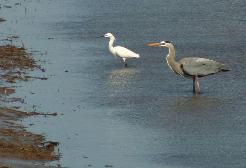 Snowy Egret & Great Blue Heron