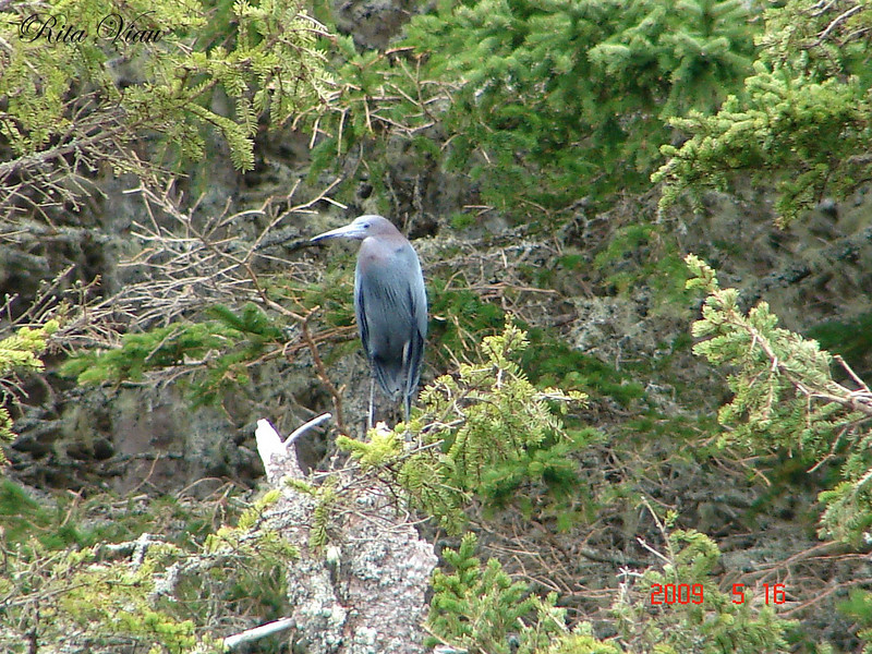 Little Blue Heron - River Bourgeois - pic by Rita Viau May 16th, 2009