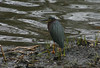 Green Heron-Sullivans Pond May 4th,2012