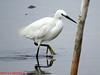Little Egret photo courtesy Donna Redden. Eastern Passage April 21, 2013