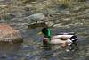 Green Heron -May 4th,2012 Sullivans Pond Dartmouth