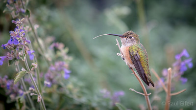 Resting Hummingbird With Tongue Out