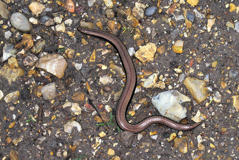 A rather dozy man eating Slow Worm on the path.