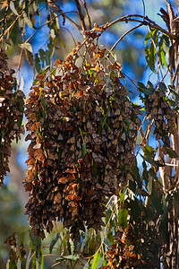 drooping with monarchs