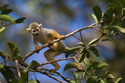 closeup squirrel monkey