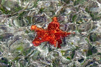 red cushion starfish