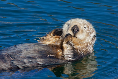 face to face with sea otter
