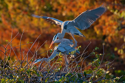 great blue heron foreplay
