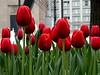 tulipwallpaper2
