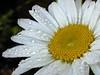 daisywallpaper
