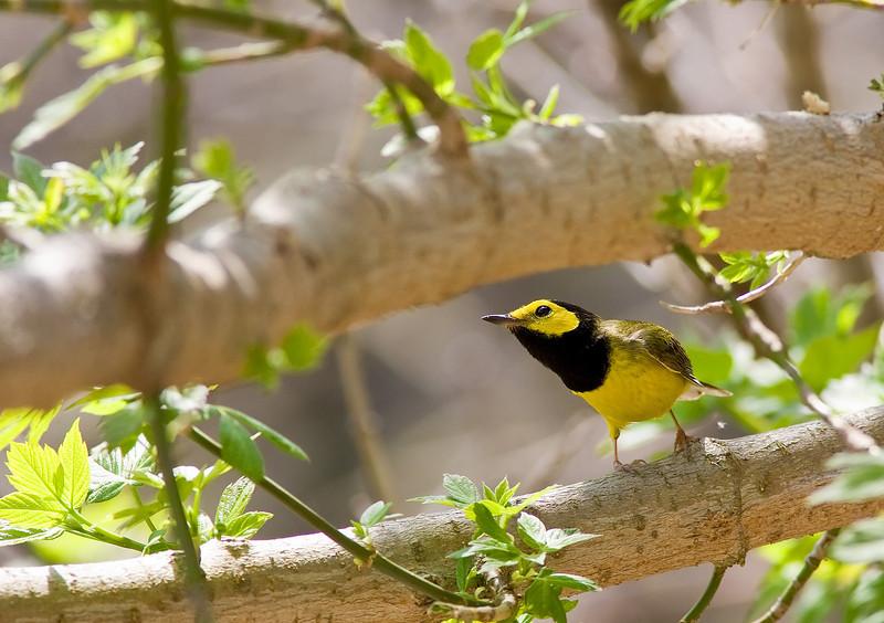 Hodded Warbler